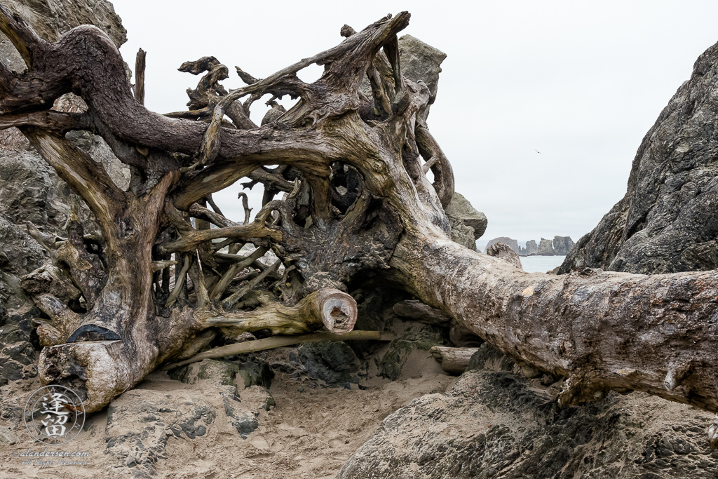 Massive tree trunk impedes foot-traffic between the beaches north and south of Coquille Point at Bandon in Oregon.