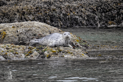 Skittish Harbor Seal (Phoca vitulina) pup trying to get settled down near Elephant Rock by Coquille Point at Bandon, Oregon.
