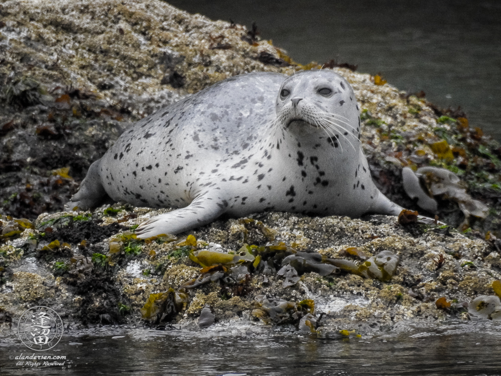 A skittish Harbor Seal (Phoca vitulina) pup trying to get settled down near Elephant Rock by Coquille Point at Bandon, Oregon