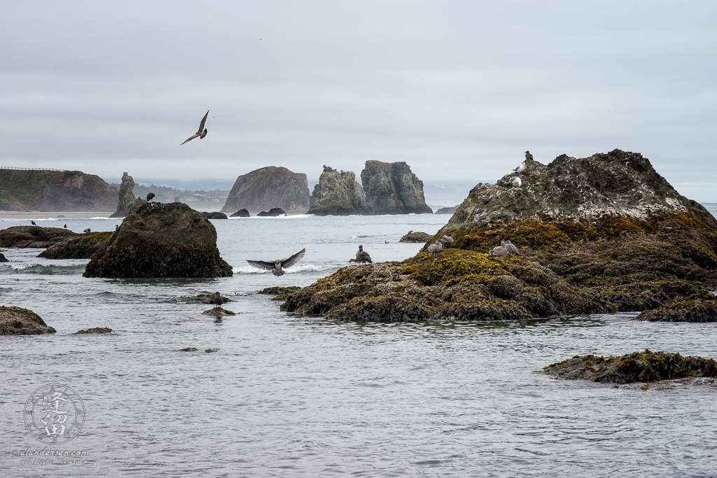 Seagulls doing Gull things on the seastacks by Elephant Rock at Bandon in Oregon.