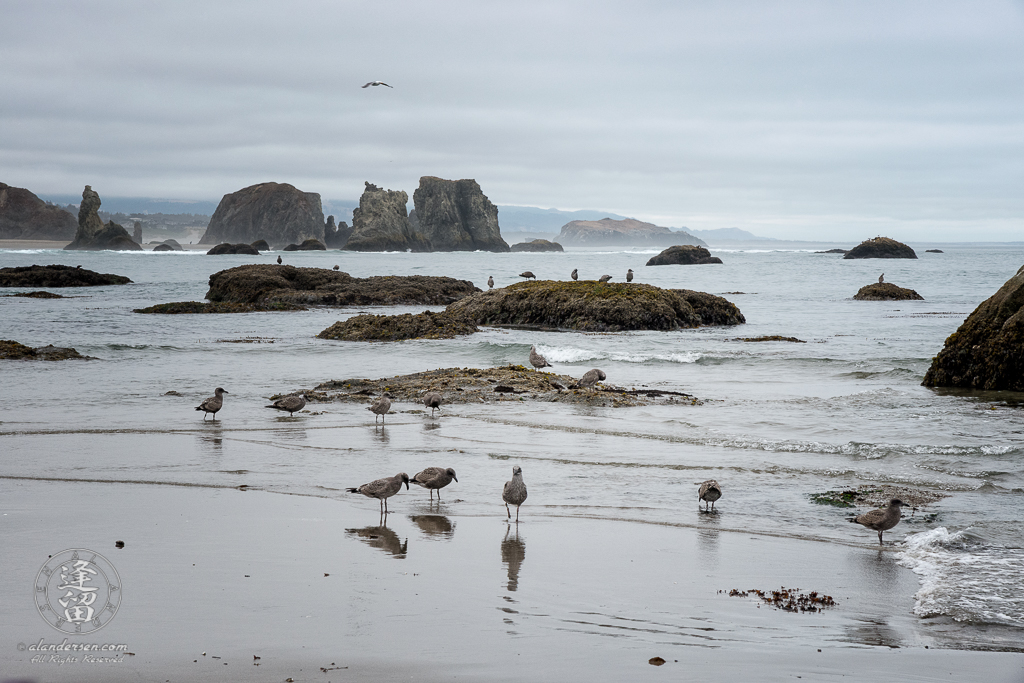 Seagulls flying and patroling the beach near Elephant Rock at Coquille Point in Bandon, Oregon. Bandon's more famous seastacks at Face Rock State Scenic Virepoint are in the background.