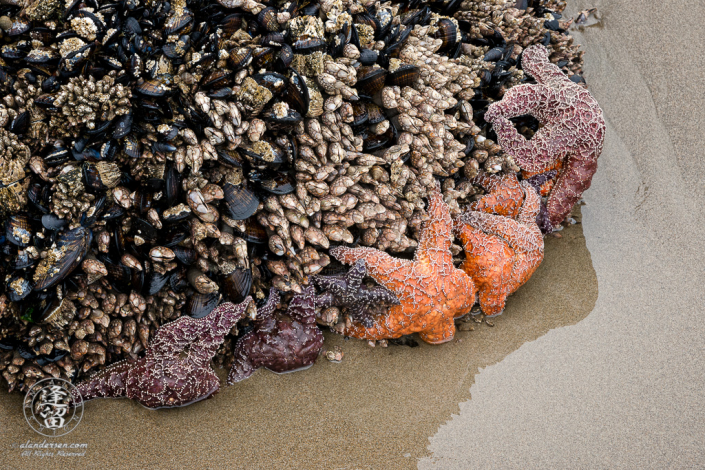 Starfish exposed at the bottom of aseastack amongst mussels and other shellfish during low tide.