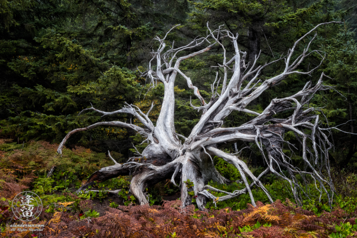 A bleached tree skeleton near the old tennis courts at Shore Acres State Park outside of Charleston in Oregon.