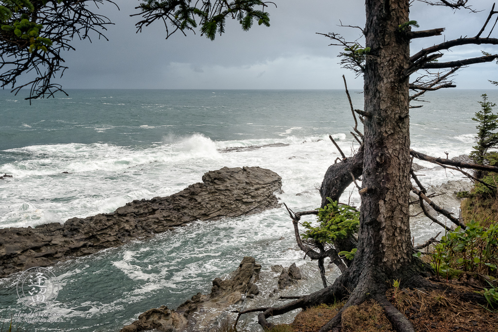 An evergreen perched precariously at the cliffs edge above barrier rocks near Shore Acres State Park outside of Charleston in Oregon.
