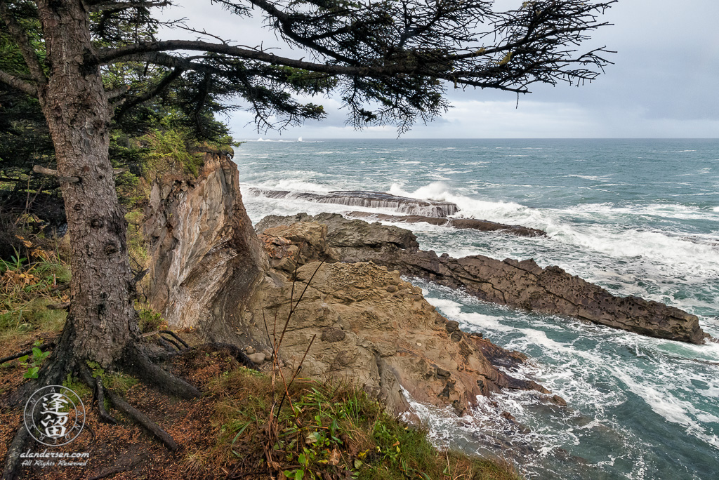 Evergreen perched precariously at cliffs edge above barrier rocks near Shore Acres State Park outside of Charleston in Oregon.