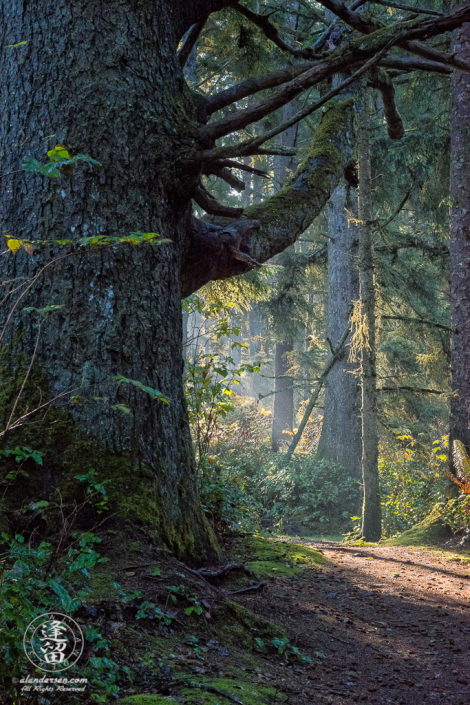 Morning sunlight creeps into shadows of the thick coastal forest near Shore Acres State Park outside of Charleston in Oregon.