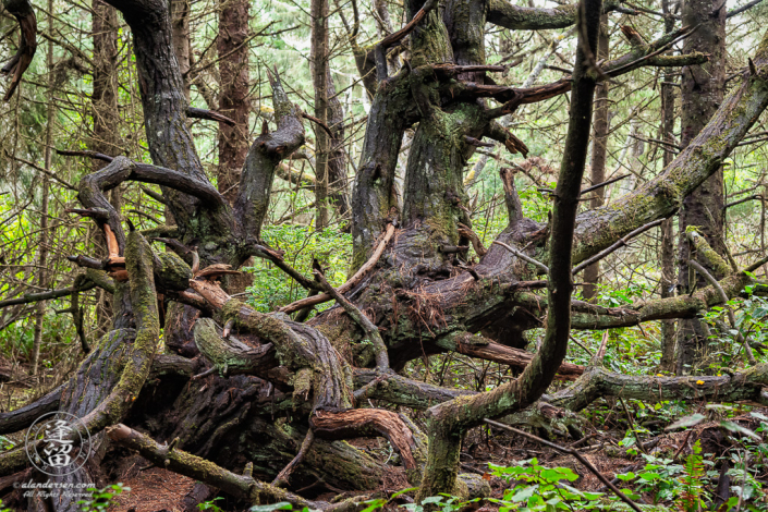 Twisted tree on access trail to the coast at Shore Acres State Park outside of Charleston in Oregon.