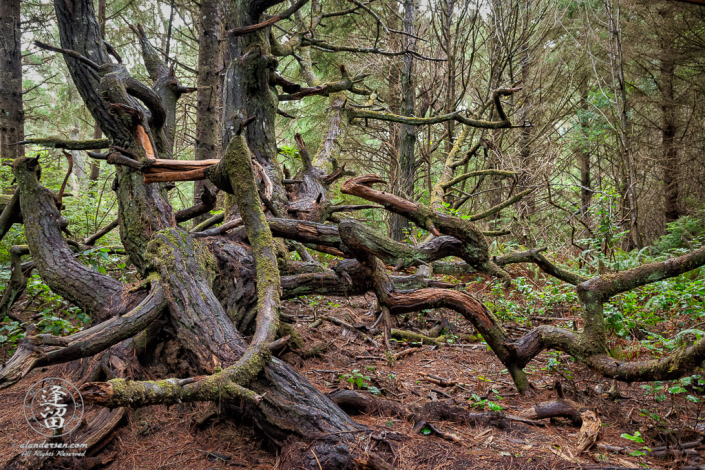 A twisted tree on one of the access trails to the coast at Shore Acres State Park outside of Charleston in Oregon.