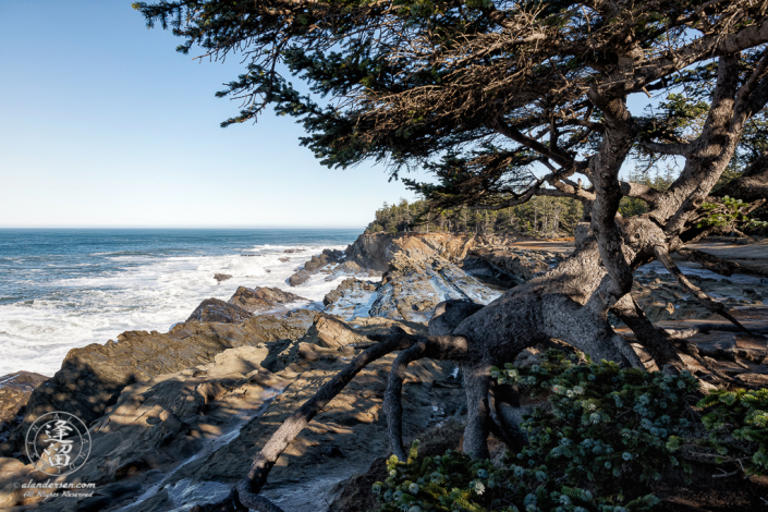 Distinctive tree with exposed roots, perched on a cliff edge near Shore Acres State Park outside of Charleston in Oregon.