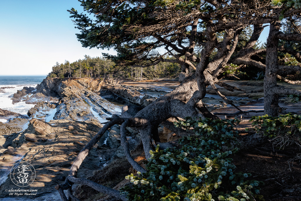 One of the distinctive trees with exposed roots, perched on a cliff edge near Shore Acres State Park outside of Charleston in Oregon.