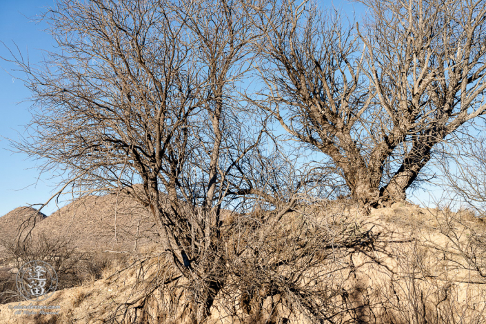 Mesquite tree isolated atop eroded hill beneath clear blue sky.